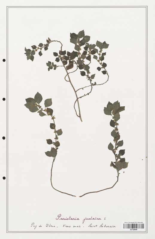 https://bibliotheque-virtuelle.bu.uca.fr/files/fichiers_bcu/Urticaceae_Parietaria_judaica_CLF139209.jpg