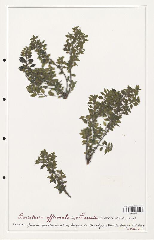 https://bibliotheque-virtuelle.bu.uca.fr/files/fichiers_bcu/Urticaceae_Parietaria_officinalis_CLF139212.jpg