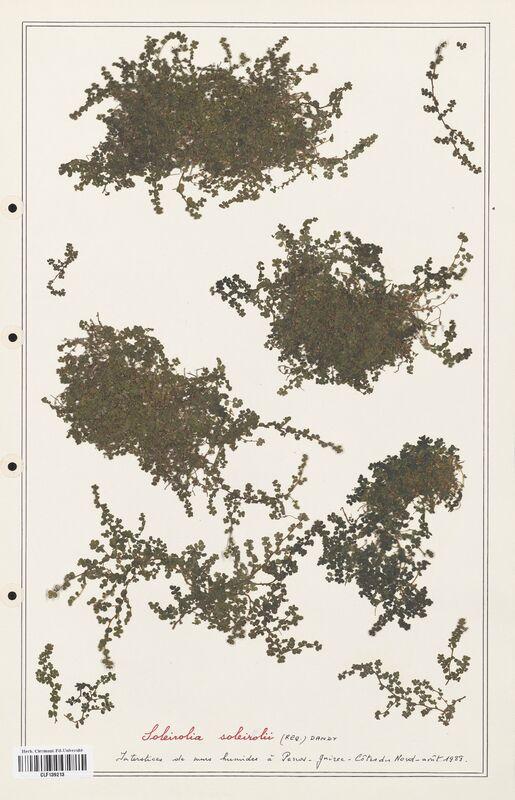 https://bibliotheque-virtuelle.bu.uca.fr/files/fichiers_bcu/Urticaceae_Soleirolia_soleirolia_CLF139213.jpg