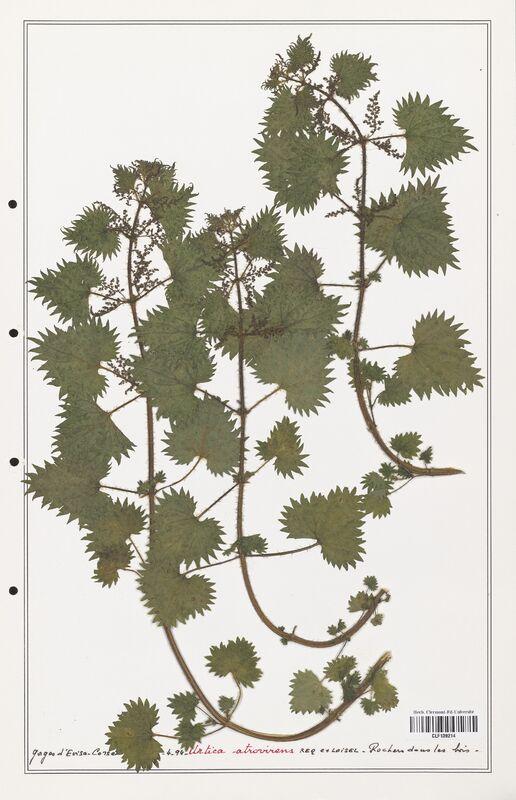https://bibliotheque-virtuelle.bu.uca.fr/files/fichiers_bcu/Urticaceae_Urtica_atrovirens_CLF139214.jpg