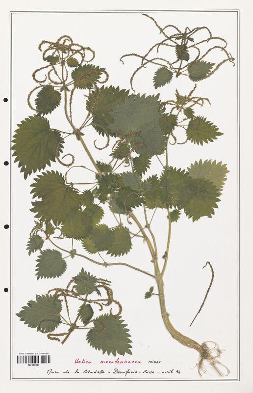 https://bibliotheque-virtuelle.bu.uca.fr/files/fichiers_bcu/Urticaceae_Urtica_membranacea_CLF139217.jpg