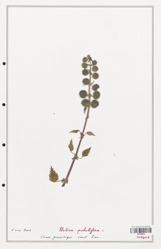 https://bibliotheque-virtuelle.bu.uca.fr/files/fichiers_bcu/Urticaceae_Urtica_pilulifera_CLF139218.jpg