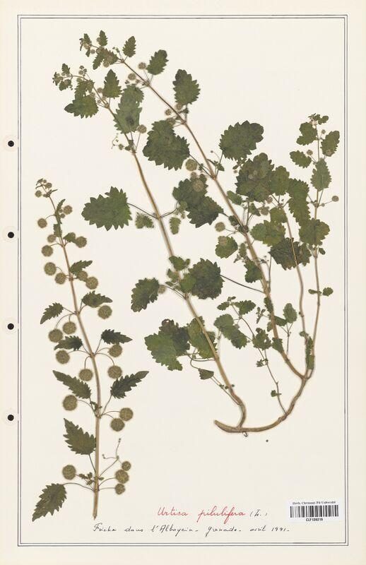 https://bibliotheque-virtuelle.bu.uca.fr/files/fichiers_bcu/Urticaceae_Urtica_pilulifera_CLF139219.jpg