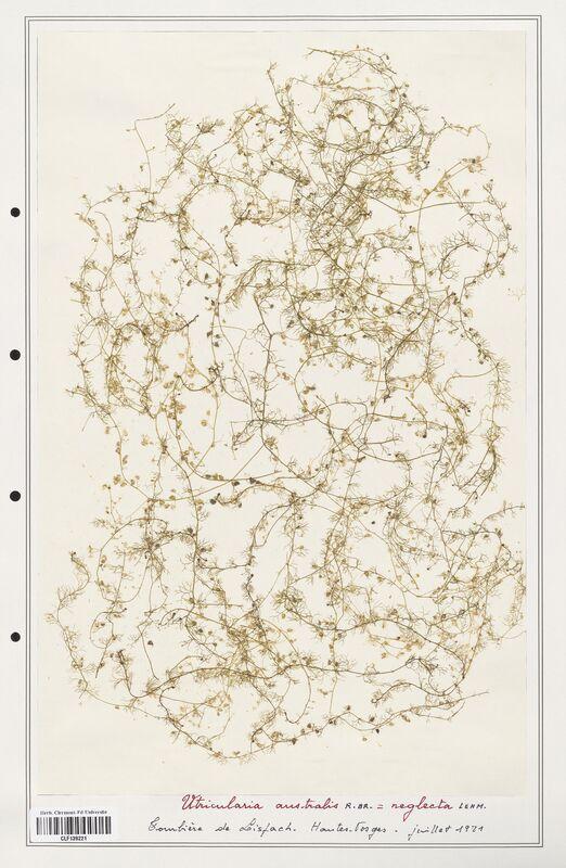 https://bibliotheque-virtuelle.bu.uca.fr/files/fichiers_bcu/Utriculariacees_Utricularia_australis_CLF139221.jpg