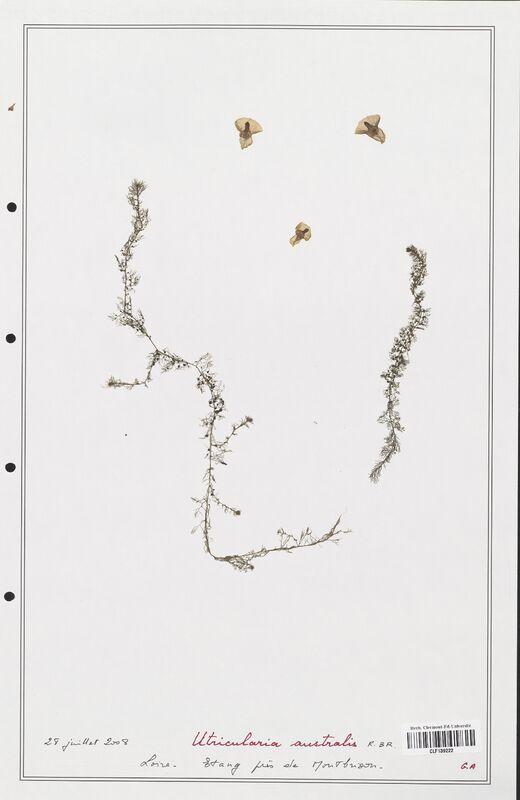 https://bibliotheque-virtuelle.bu.uca.fr/files/fichiers_bcu/Utriculariacees_Utricularia_australis_CLF139222.jpg