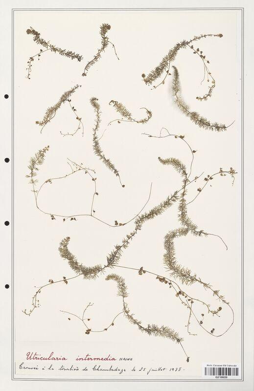 https://bibliotheque-virtuelle.bu.uca.fr/files/fichiers_bcu/Utriculariacees_Utricularia_intermedia_CLF139223.jpg