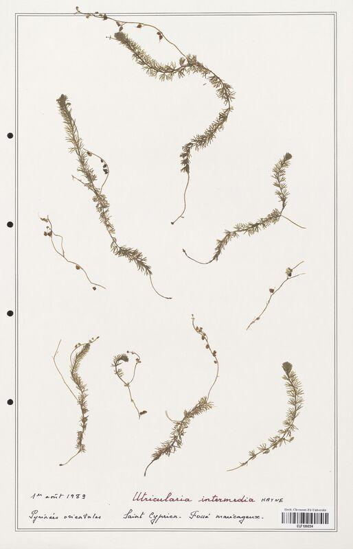 https://bibliotheque-virtuelle.bu.uca.fr/files/fichiers_bcu/Utriculariacees_Utricularia_intermedia_CLF139224.jpg