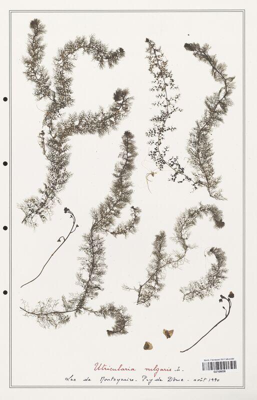 https://bibliotheque-virtuelle.bu.uca.fr/files/fichiers_bcu/Utriculariacees_Utricularia_vulgaris_CLF139226.jpg