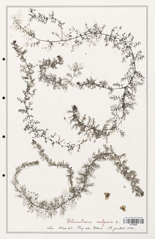 https://bibliotheque-virtuelle.bu.uca.fr/files/fichiers_bcu/Utriculariacees_Utricularia_vulgaris_CLF139228.jpg