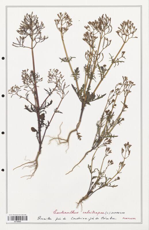 https://bibliotheque-virtuelle.bu.uca.fr/files/fichiers_bcu/Valerianaceae_Centranthus_calcitrapa_CLF139232.jpg