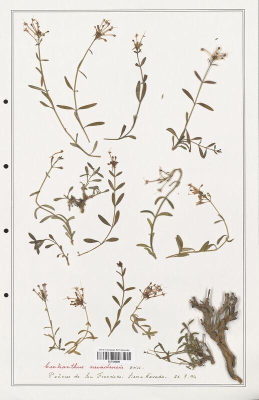 https://bibliotheque-virtuelle.bu.uca.fr/files/fichiers_bcu/Valerianaceae_Centranthus_nevadensis_CLF139235.jpg