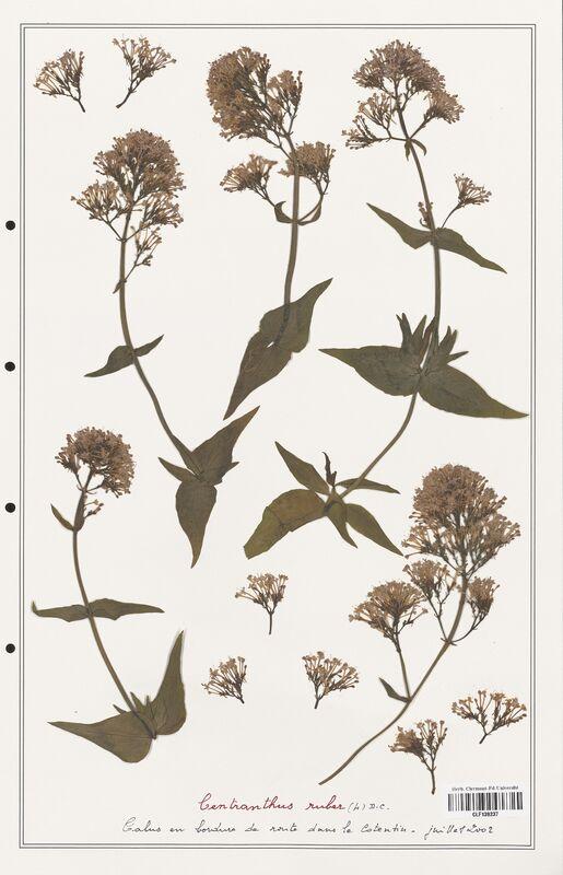 https://bibliotheque-virtuelle.bu.uca.fr/files/fichiers_bcu/Valerianaceae_Centranthus_ruber_CLF139237.jpg