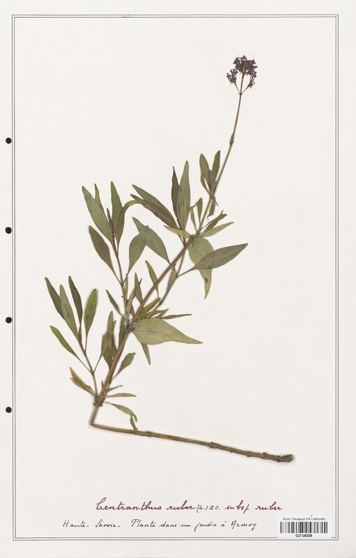 https://bibliotheque-virtuelle.bu.uca.fr/files/fichiers_bcu/Valerianaceae_Centranthus_ruber_CLF139238.jpg