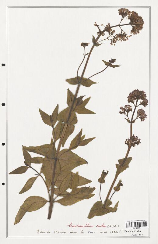 https://bibliotheque-virtuelle.bu.uca.fr/files/fichiers_bcu/Valerianaceae_Centranthus_ruber_CLF139239.jpg