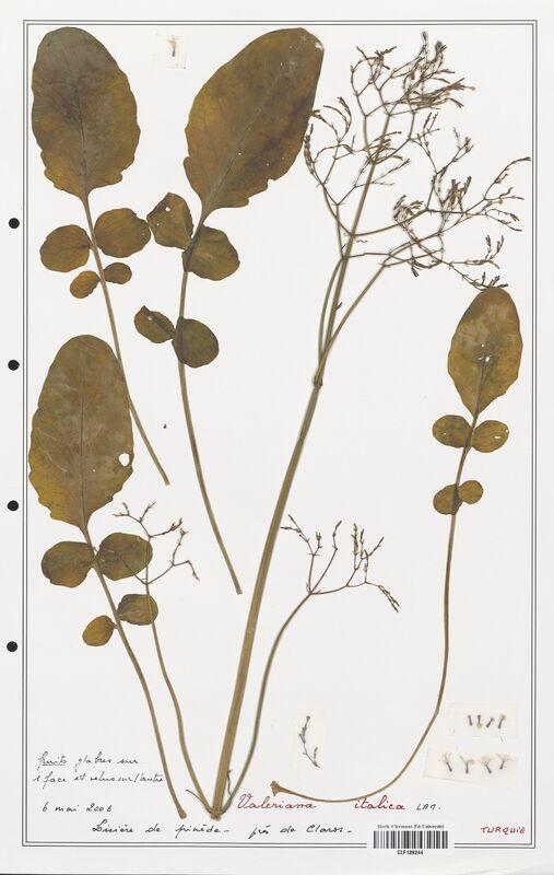 https://bibliotheque-virtuelle.bu.uca.fr/files/fichiers_bcu/Valerianaceae_Valeriana_italica_CLF139244.jpg