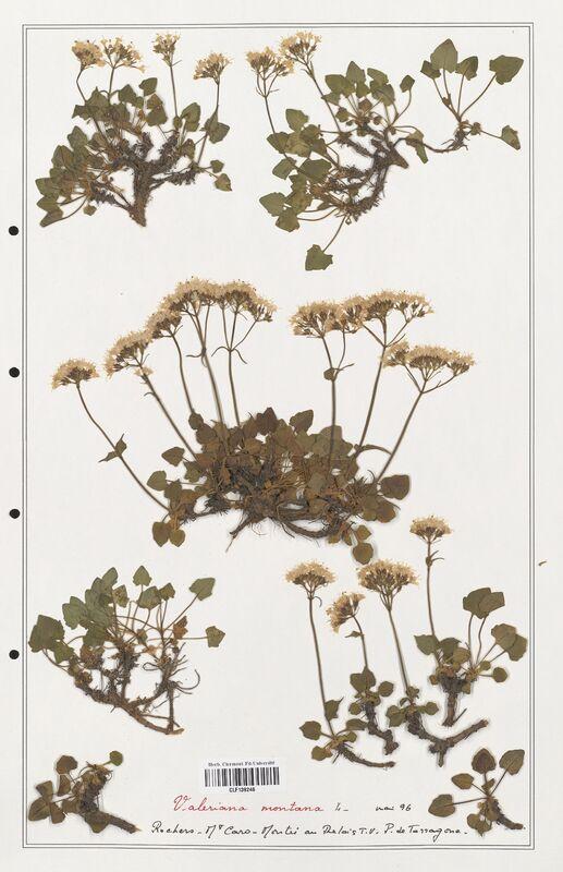 https://bibliotheque-virtuelle.bu.uca.fr/files/fichiers_bcu/Valerianaceae_Valeriana_montana_CLF139246.jpg