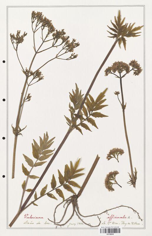https://bibliotheque-virtuelle.bu.uca.fr/files/fichiers_bcu/Valerianaceae_Valeriana_officinalis_CLF139248.jpg