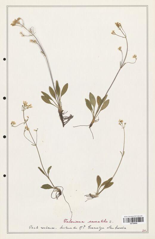 https://bibliotheque-virtuelle.bu.uca.fr/files/fichiers_bcu/Valerianaceae_Valeriana_saxatilis_CLF139253.jpg