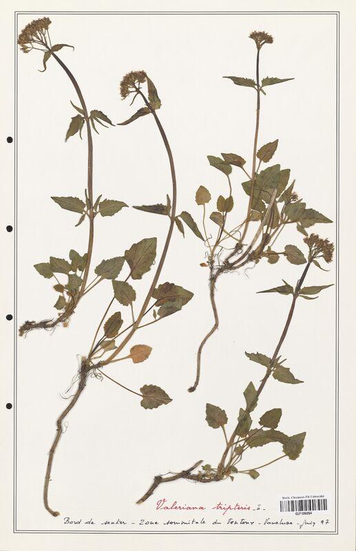 https://bibliotheque-virtuelle.bu.uca.fr/files/fichiers_bcu/Valerianaceae_Valeriana_tripteris_CLF139254.jpg