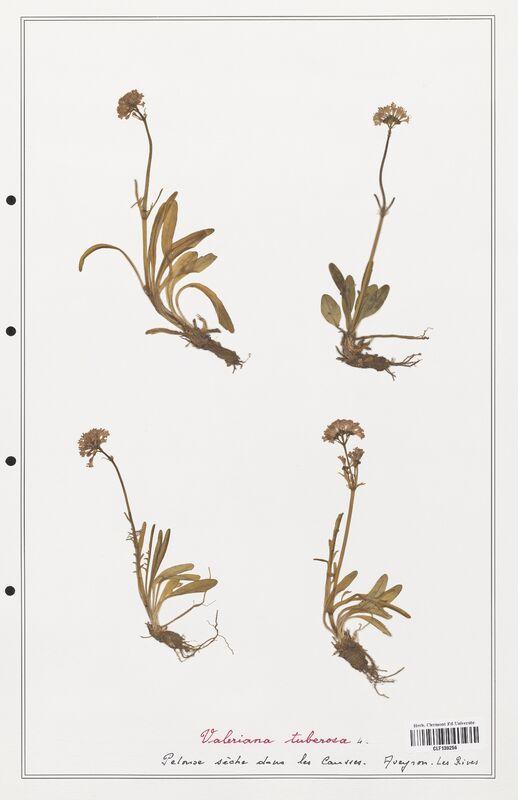 https://bibliotheque-virtuelle.bu.uca.fr/files/fichiers_bcu/Valerianaceae_Valeriana_tuberosa_CLF139256.jpg