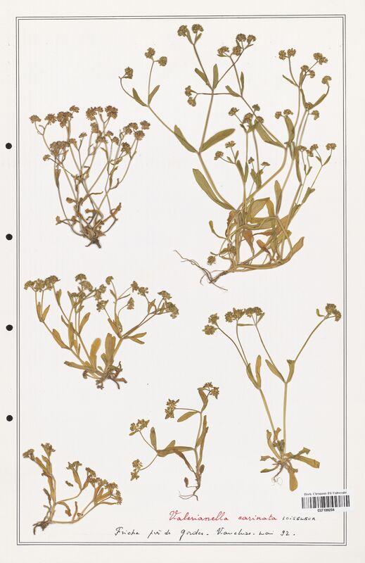 https://bibliotheque-virtuelle.bu.uca.fr/files/fichiers_bcu/Valerianaceae_Valerianella_carinata_CLF139258.jpg