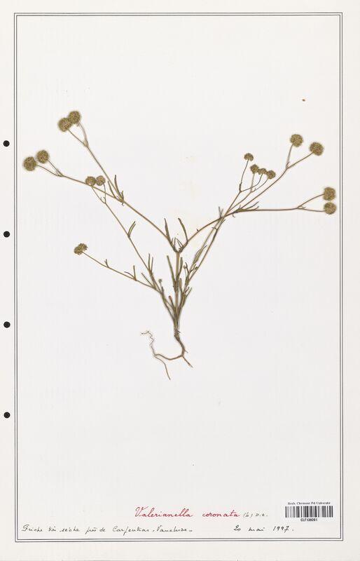 https://bibliotheque-virtuelle.bu.uca.fr/files/fichiers_bcu/Valerianaceae_Valerianella_coronata_CLF139261.jpg