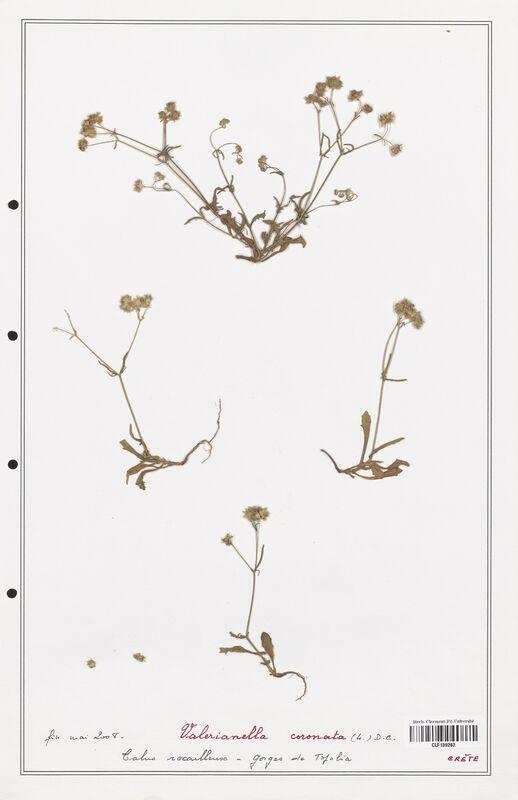 https://bibliotheque-virtuelle.bu.uca.fr/files/fichiers_bcu/Valerianaceae_Valerianella_coronata_CLF139262.jpg