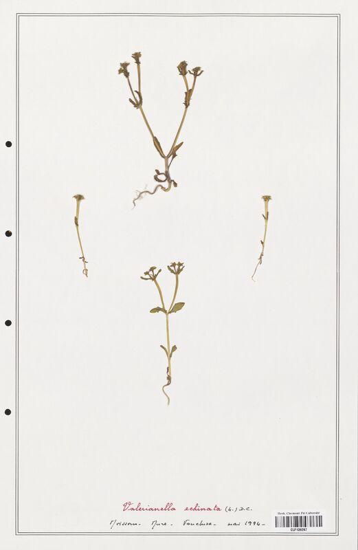 https://bibliotheque-virtuelle.bu.uca.fr/files/fichiers_bcu/Valerianaceae_Valerianella_echinata_CLF139267.jpg