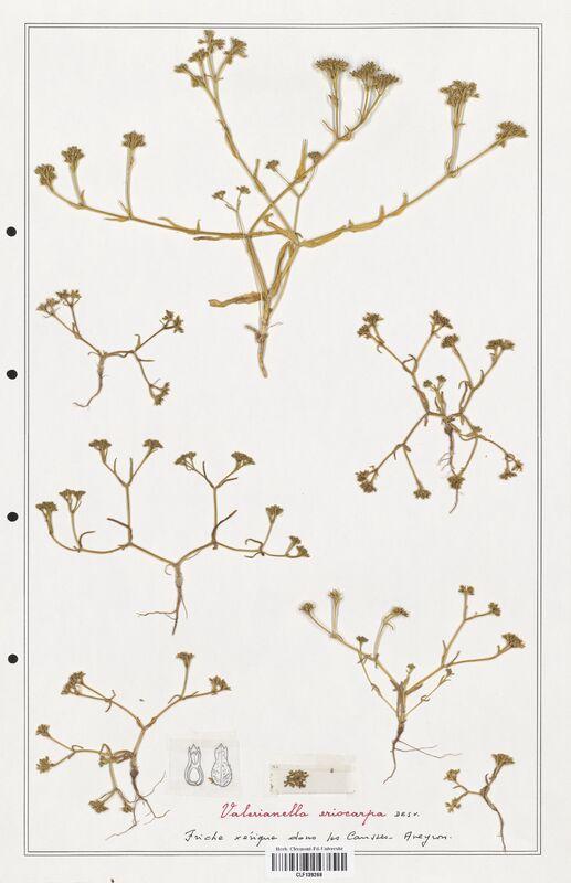 https://bibliotheque-virtuelle.bu.uca.fr/files/fichiers_bcu/Valerianaceae_Valerianella_eriocarpa_CLF139268.jpg