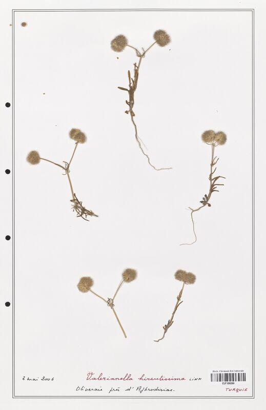 https://bibliotheque-virtuelle.bu.uca.fr/files/fichiers_bcu/Valerianaceae_Valerianella_hirsutissima_CLF139269.jpg