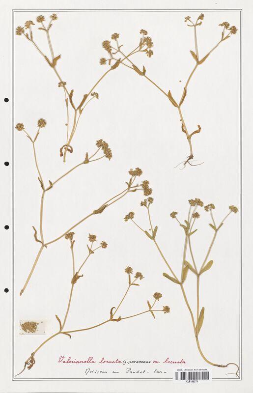 https://bibliotheque-virtuelle.bu.uca.fr/files/fichiers_bcu/Valerianaceae_Valerianella_locusta_CLF139271.jpg