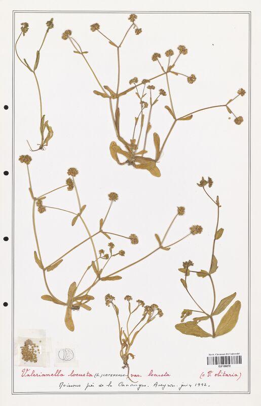 https://bibliotheque-virtuelle.bu.uca.fr/files/fichiers_bcu/Valerianaceae_Valerianella_locusta_CLF139272.jpg