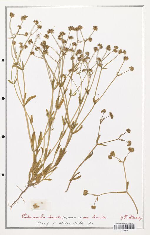 https://bibliotheque-virtuelle.bu.uca.fr/files/fichiers_bcu/Valerianaceae_Valerianella_locusta_CLF139273.jpg