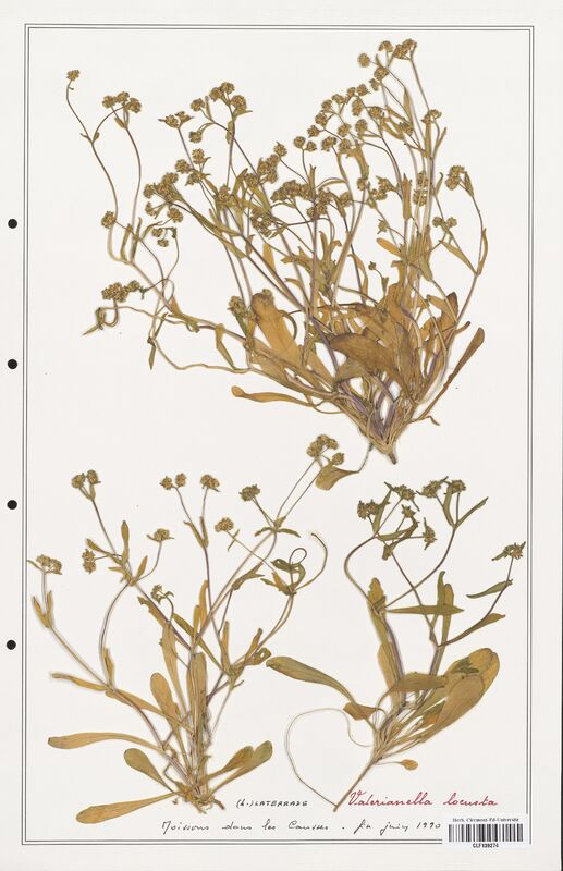 https://bibliotheque-virtuelle.bu.uca.fr/files/fichiers_bcu/Valerianaceae_Valerianella_locusta_CLF139274.jpg
