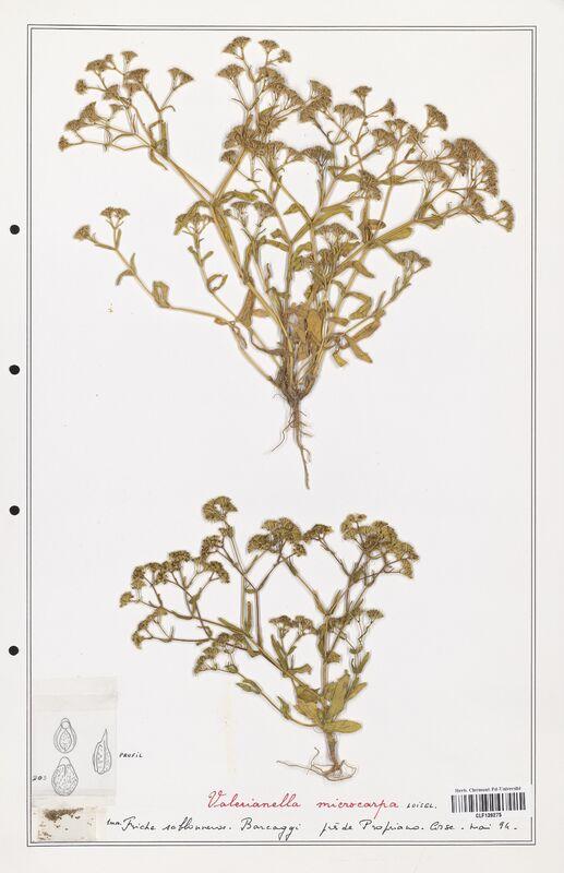 https://bibliotheque-virtuelle.bu.uca.fr/files/fichiers_bcu/Valerianaceae_Valerianella_microcarpa_CLF139275.jpg