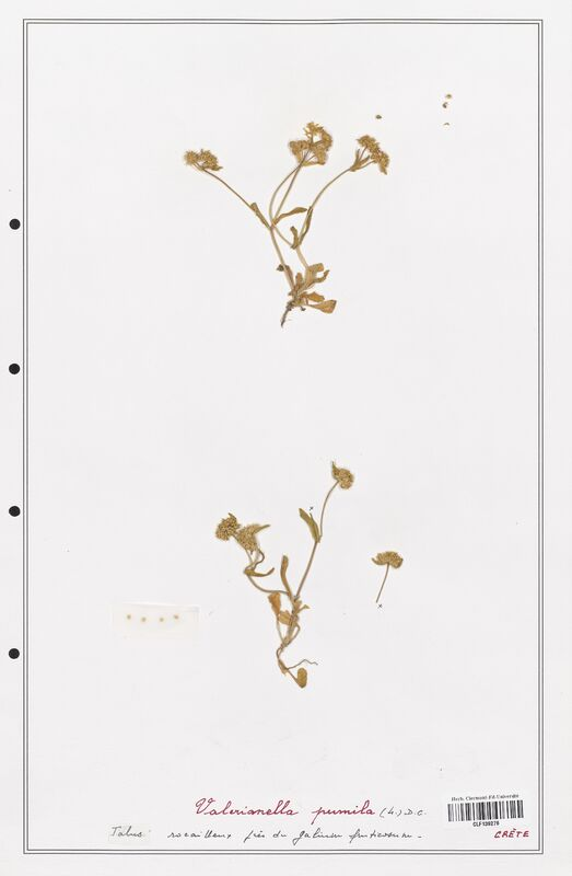 https://bibliotheque-virtuelle.bu.uca.fr/files/fichiers_bcu/Valerianaceae_Valerianella_pumila_CLF139276.jpg