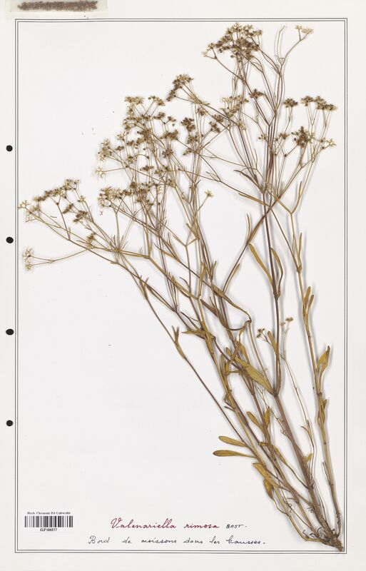 https://bibliotheque-virtuelle.bu.uca.fr/files/fichiers_bcu/Valerianaceae_Valerianella_rimosa_CLF139277.jpg