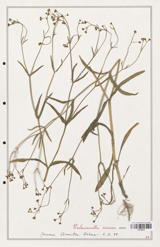 https://bibliotheque-virtuelle.bu.uca.fr/files/fichiers_bcu/Valerianaceae_Valerianella_rimosa_CLF139279.jpg