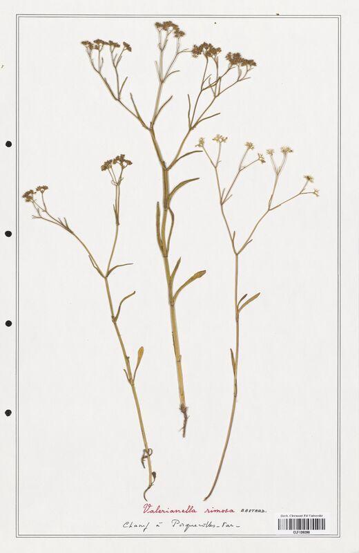 https://bibliotheque-virtuelle.bu.uca.fr/files/fichiers_bcu/Valerianaceae_Valerianella_rimosa_CLF139280.jpg