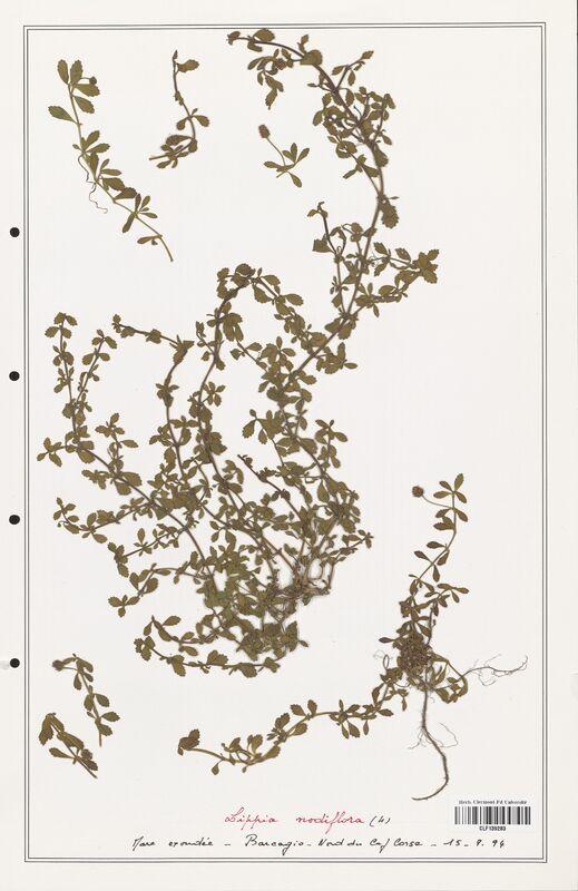 https://bibliotheque-virtuelle.bu.uca.fr/files/fichiers_bcu/Verbenaceae_Lippia_nodiflora_CLF139283.jpg