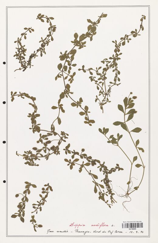 https://bibliotheque-virtuelle.bu.uca.fr/files/fichiers_bcu/Verbenaceae_Lippia_nodiflora_CLF139284.jpg