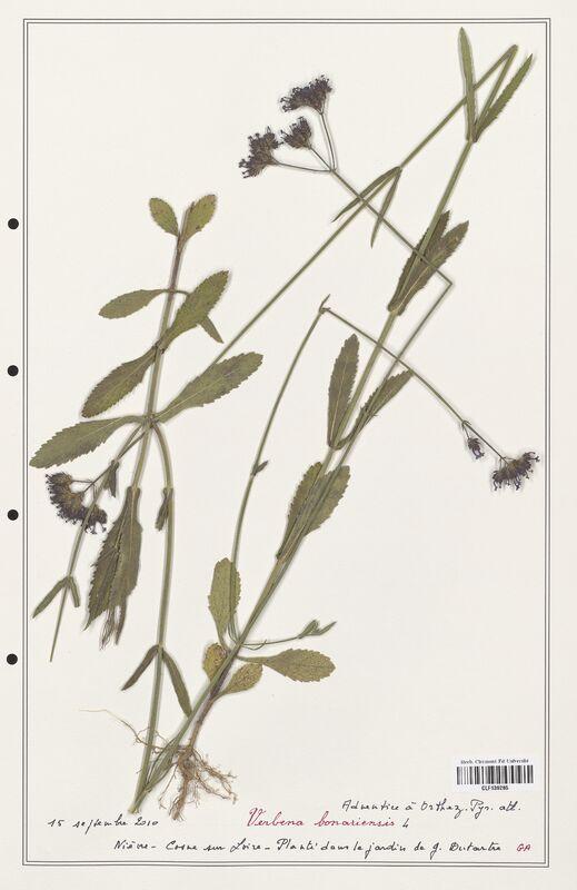 https://bibliotheque-virtuelle.bu.uca.fr/files/fichiers_bcu/Verbenaceae_Verbena_bonariensis_CLF139285.jpg