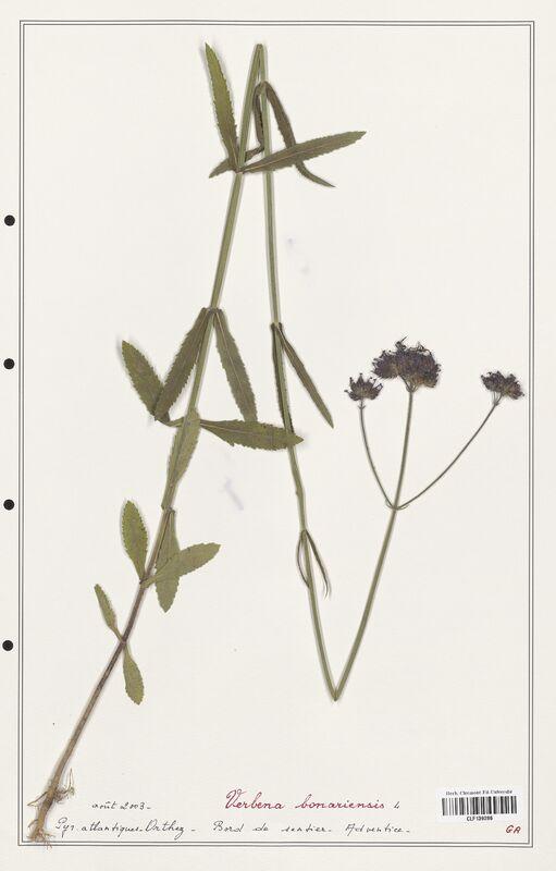 https://bibliotheque-virtuelle.bu.uca.fr/files/fichiers_bcu/Verbenaceae_Verbena_bonariensis_CLF139286.jpg