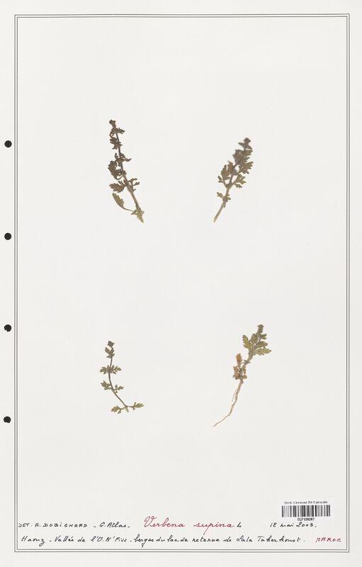 https://bibliotheque-virtuelle.bu.uca.fr/files/fichiers_bcu/Verbenaceae_Verbena_supina_CLF139287.jpg