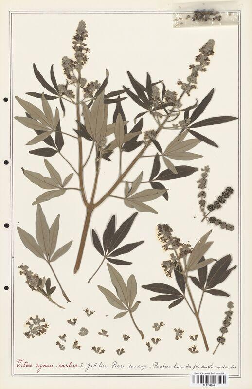 https://bibliotheque-virtuelle.bu.uca.fr/files/fichiers_bcu/Verbenaceae_Vitex_agnus_castus_CLF139288.jpg