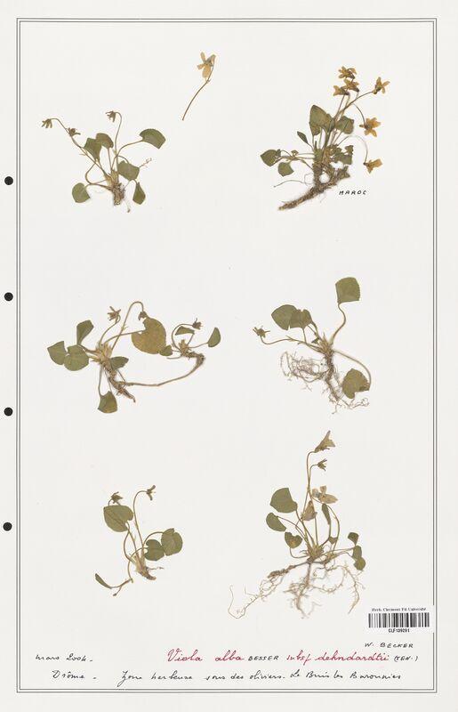 https://bibliotheque-virtuelle.bu.uca.fr/files/fichiers_bcu/Verbenaceae_Viola_alba_CLF139291.jpg