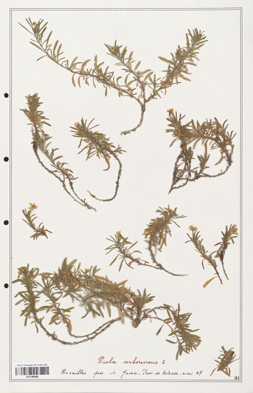 https://bibliotheque-virtuelle.bu.uca.fr/files/fichiers_bcu/Verbenaceae_Viola_arborescens_CLF139293.jpg