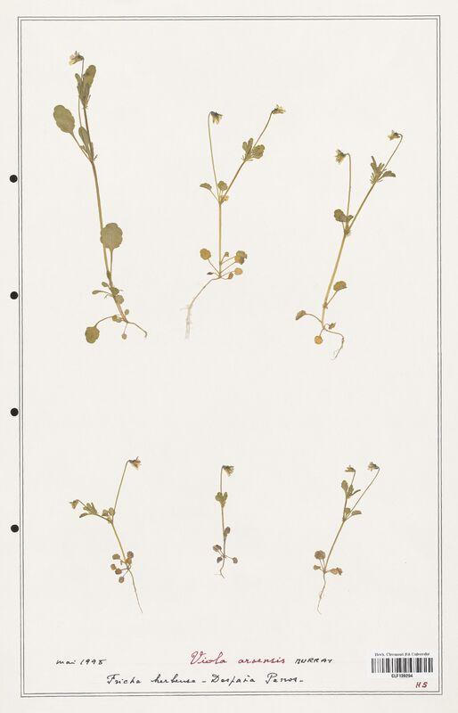 https://bibliotheque-virtuelle.bu.uca.fr/files/fichiers_bcu/Verbenaceae_Viola_arvensis_CLF139294.jpg