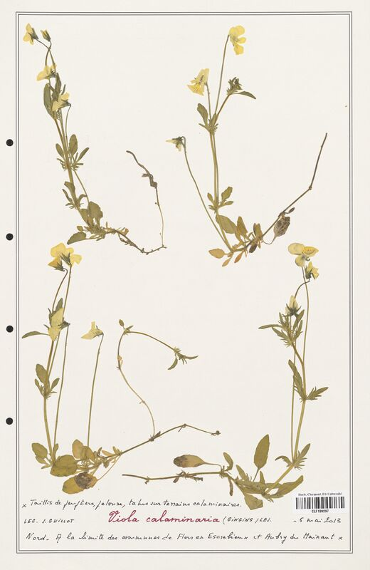 https://bibliotheque-virtuelle.bu.uca.fr/files/fichiers_bcu/Verbenaceae_Viola_calaminaria_CLF139297.jpg