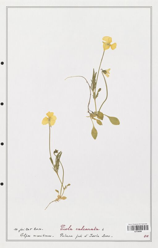 https://bibliotheque-virtuelle.bu.uca.fr/files/fichiers_bcu/Verbenaceae_Viola_calcarata_CLF139298.jpg